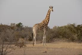Giraffe In Koure Niger