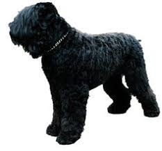 Airedale Terrier Non Shedding by Airedale Terrier Amazing Dogs Pinterest Airedale Terrier