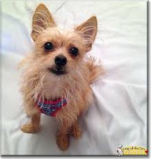cairn terrier shed hair best 25 chihuahua terrier mix ideas on