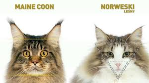 forest cat vs maine coon maine coon mix the cat site