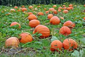 Pumpkin Farms In North Georgia by 5 Places To Celebrate U0026 Pick Pumpkins In New York This October