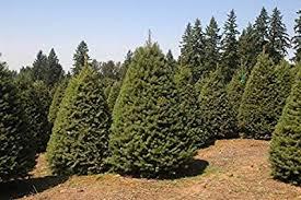 Douglas Fir Tree Christmas