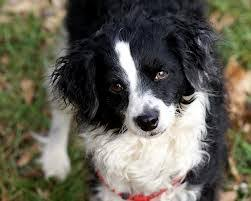 Do Blue Heeler Border Collies Shed by Bordoodle Border Collie And Poodle Mix Dogs Pinterest