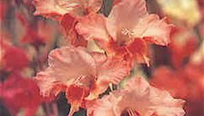 gladiolus garden guides