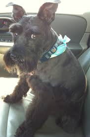 Do Giant Schnauzer Dogs Shed Hair by 33 Best Giant Schnauzers Images On Pinterest Giant Schnauzer