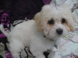 Poodle Shih Tzu Puppy