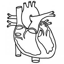 Human Heart Coloring Pictures For Kids Health Of Anatomy