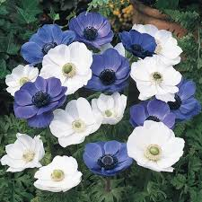 poppy anemone mixture blue and white poppy anemone