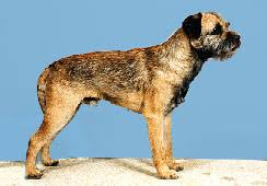 Do Border Terriers Shed by Btca Grooming Guide