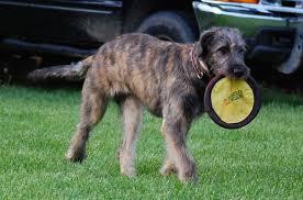 Irish Wolfhound Non Shedding by Bainbridge Irish Wolfhounds