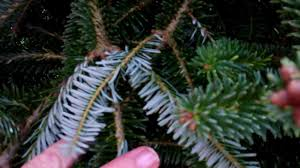 Fraser Fir Christmas Trees North Carolina by The Perfect Fresh Cut Christmas Tree The Fraser Fir The