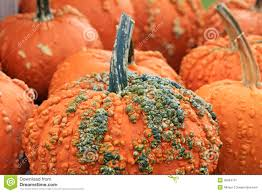 Connecticut Field Pumpkin by Orange Pumpkin With Warts Royalty Free Stock Photography Image