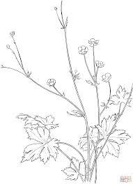 Lavandula Angustifolia Or Common Lavender Coloring Page