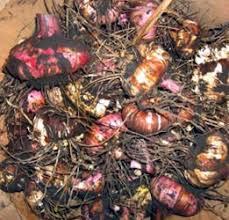 storing tender bulbs for winter master gardener program