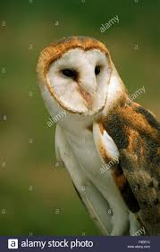 USA, Colorado, Broomfield. Barn Owl At Birds Of Prey Foundation ... White And Brown Barn Owl Free Image Peakpx Sd Falconry Barn Owl Box Tips Encouraging Owls To Nest Habitat Diet Reproduction Reptile Park Centre Stock Photos Images Alamy Bird Of Prey Tyto Alba Video Footage Videoblocks Barn Owl Tyto A Heart Shaped Face Buff Back Wings Bisham Group Bird Of Prey Clipart Pencil In Color British Struggle Adapt Modern Life Birdguides Beautiful Owls Pulborough Brooks The
