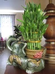 entretien des bambous en pot bambou en pot et lucky bambou entretien et symbolique bambou en