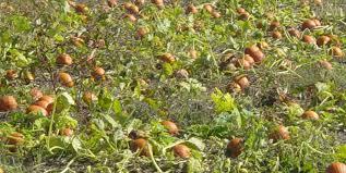 Nj Pumpkin Picking by Fall Trips