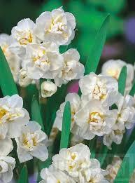 narcissus bridal crown narcissi bridal crown
