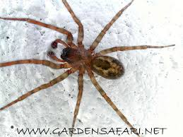 Gardensafari House Spiders (with Lots Of Pictures) Barn Spider Photography Nature Pinterest Update Spiders Still Dont Bite Arthropod Ecology Beneficial In The Landscape 49 Bana Nephila Tegenaria Domestica Wikipedia Grass Spiders At Spiderzrule Best Site World About Spiderlings Eat Mother Youtube Myths Burke Museum What Are Some Common Montana Animals Momme 7 Bug And Squashed National Geographic Society Blogs Neighbourhood Agriculture Food Molting