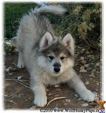 Cute Non Hypoallergenic Dogs by Cute Dog Mixes List Of Cute Mixed U0026 Hybrid Breed Dogs