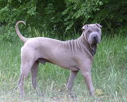 Do Shar Peis Shed Hair by A Full Grown Shar Pei His Face Is Just Like My Bundy But