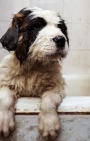 bernard breed information pictures characteristics