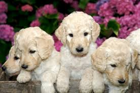 labradoodles are not non shedding dogs how to choose your dog