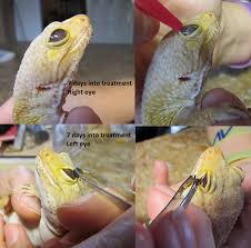 Crested Gecko Shed Stuck On Eye by 100 Do Leopard Geckos Shed Their Eyes Peepers U0026 Jeepers