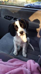 Do Pocket Puggles Shed by 8 Best Ms Penny Pearl Beagle Jack Russell Mix Images On Pinterest
