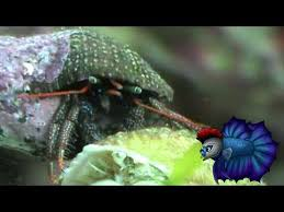 Halloween Hermit Crab Care by One Of The Most Up Close Detailed Of Saltwater Hermit Crab