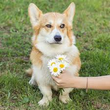 219 best Corgis images on Pinterest
