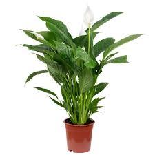 einblatt spathiphyllum lauretta t19 h90