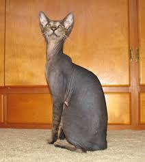 hairless cat price shamira cattery russian peterbald hairless cats and kittens
