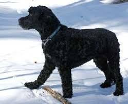 Portuguese Water Dog Non Shedding by Large Non Shedding Dogs