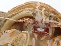 Do Hermit Crabs Shed by Cannibalistic Hermit Crabs Salivate At The Smell Of Their Dead