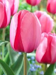 pink angelique gardening and landscape