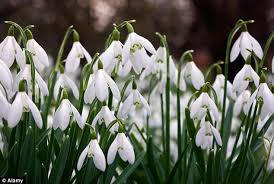 galanthus bulbs go for 癸100 each in great snowdrop daily