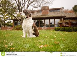 English Springer Spaniel Dog In The Backyard Stock Photo - Image ... Grumpy Senior Dog In The Backyard Stock Photo Akchamczuk To With Love January 2017 Friendly Ideas In Garden Pricelistbiz Portrait Of Female Boxer Dog Standing On Grass Backyard Lavish Toys For Dogs Toy Organization February Digging Create A Sandbox Just For His Digging I Like Quite Moments Fall Wisconsin Quaint Revival Yesterday Caught My Hole Today Unique Toys Architecturenice Cia Fires Since Sniffing Bombs Wasnt Her True Calling Time A View From Edge All Love Part Two