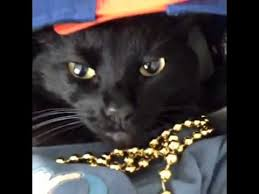 thug cat thug cat best of the vine