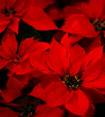 Christmas Tree Preservative Recipe Mythbusters by Keeping A Christmas Tree Fresh Christmas Lights Decoration