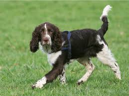 Springer Spaniel Shed Hunting by English Springer Spaniel Breed Guide Learn About The English