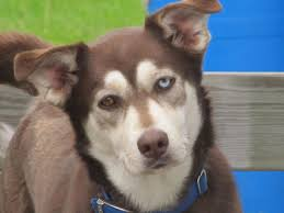 Large Dogs That Dont Shed Fur by What You Need To Know Before Getting A Husky Lab Mix Animalso