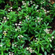 Heuchera Milan In The Garden Heuchera Plants Coral Bells