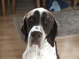 German Shorthaired Pointer Shedding by 12 Reasons Why You Should Never Own Pointers