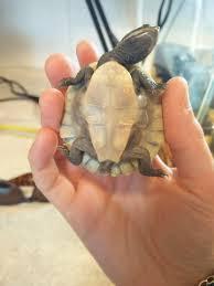 baby murray river turtle health check scute shedding australian