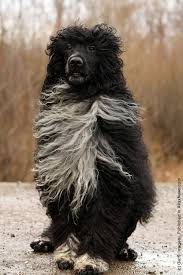 Portuguese Water Dog Non Shedding by Portugese Water Dog