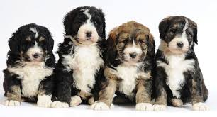 Do Hypoallergenic Dogs Shed As Puppies by Bernedoodle Info Temperament Training Diet Puppies Pictures