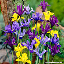 specie iris bulbs mix american