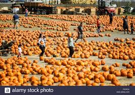 Pumpkin Patch Cal Poly Pomona by Pomona Usa 24th Oct 2015 People Carry Their Selected Pumpkins