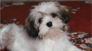 Lhasa Apso Poodle Mix Shedding by Top 10 Amazing Facts About Lhasa Apsos Youtube